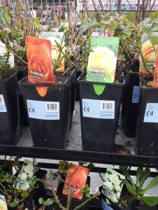 BnQ Roses