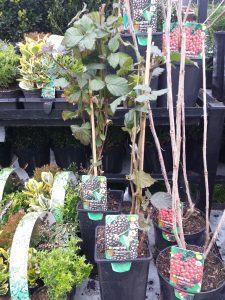 B&Q Blackcurrents and Redcurrents plants